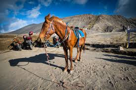 kuda di bromo